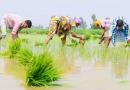 MINIMUM Support Price For 14 Summer Crops Including Rice & Millet Hiked